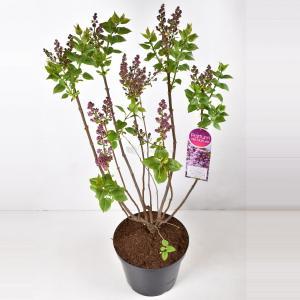 Sering (syringa vulgaris Mme Antoine Buchner) - 90-120 cm - 1 stuks