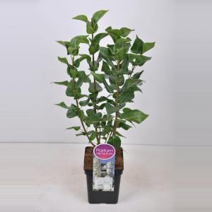 Sering (syringa vulgaris Mme Lemoine) - 50-70 cm - 1 stuks