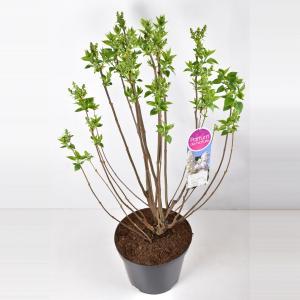 Sering (syringa vulgaris Mme Lemoine) - 90-120 cm - 1 stuks
