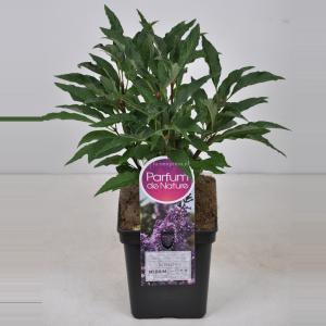 Sering (syringa vulgaris Nadezhda) - 80-100 cm - 1 stuks