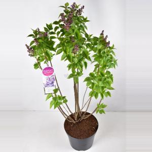 Sering (syringa vulgaris Nadezhda) - 90-120 cm - 1 stuks