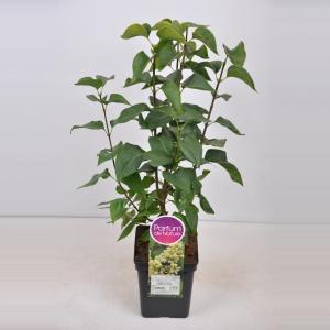 Sering (syringa vulgaris Primrose) - 50-70 cm - 1 stuks