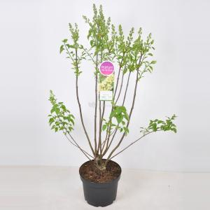 Sering (syringa vulgaris Primrose) - 70-90 cm - 1 stuks