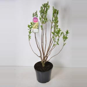 Sering (syringa vulgaris Primrose) - 90-120 cm - 1 stuks