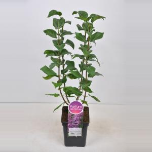 Sering (syringa vulgaris Ruhm von Horstenstein) - 50-70 cm - 1 stuks