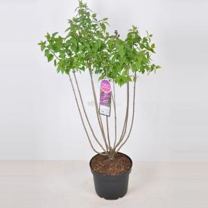 Sering (syringa vulgaris Ruhm von Horstenstein) - 70-90 cm - 1 stuks