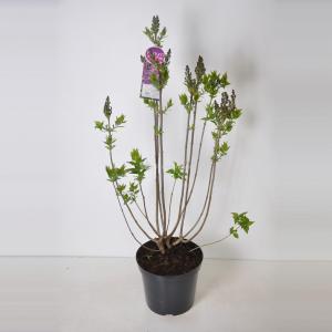 Sering (syringa vulgaris Ruhm von Horstenstein) - 90-120 cm - 1 stuks