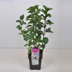 Sering (syringa vulgaris Souv. d'Alice Harding) - 50-70 cm - 1 stuks