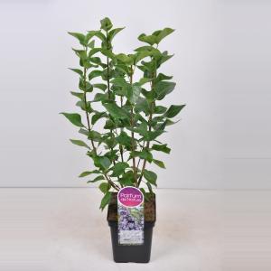 Sering (syringa vulgaris Victor Lemoine)