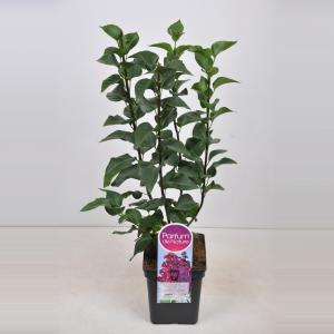 Sering (syringa vulgaris Znamya Lenina) - 50-70 cm - 1 stuks