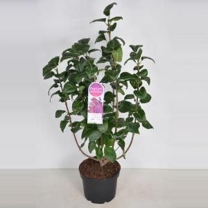 Sering (syringa vulgaris Znamya Lenina) - 70-90 cm - 1 stuks