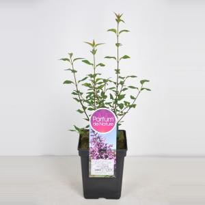 Sering (syringa chinensis Saugeana) - 40-60 cm - 1 stuks