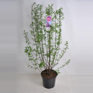 Sering (syringa chinensis Saugeana) - 90-120 cm - 1 stuks