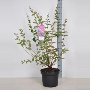Dwergsering (syringa Josee) - 70-90 cm - 1 stuks