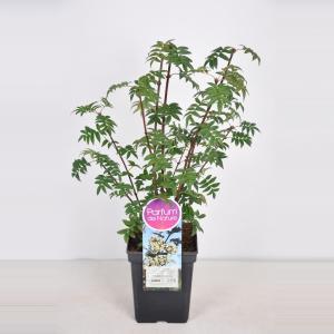 Sering (syringa pinnatifolia) - 30-50 cm - 1 stuks