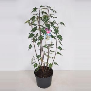 Sering (syringa pinnatifolia) - 70-90 cm - 1 stuks