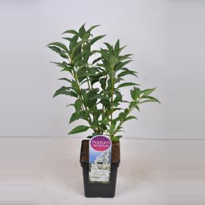 Sering (syringa villosae Agnes Smith) - 30-50 cm - 1 stuks