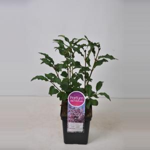 Sering (syringa villosae Lark Song) - 50-70 cm - 1 stuks