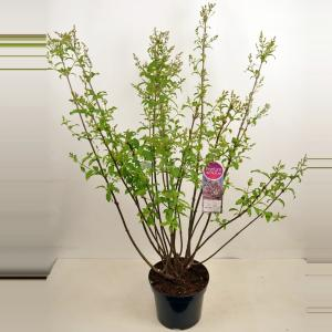 Sering (syringa villosae Lark Song) - 90-120 cm - 1 stuks