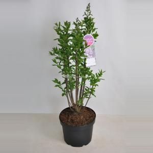 Sering (syringa villosae Minuet) - 60-80 cm - 1 stuks
