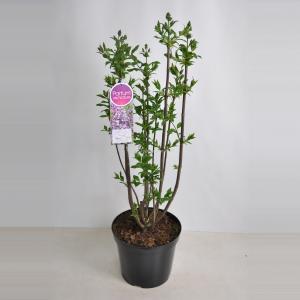 Sering (syringa villosae Minuet) - 80-100 cm - 1 stuks
