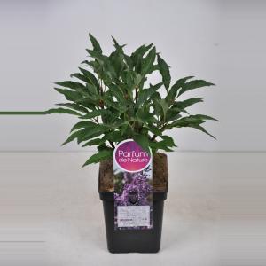 Sering (syringa villosae Royalty) - 30-50 cm - 1 stuks