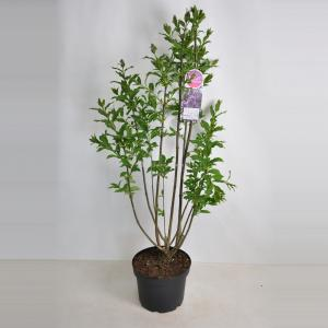 Sering (syringa villosae Royalty) - 70-90 cm - 1 stuks