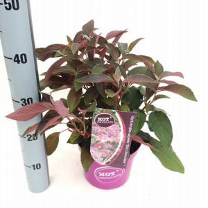 Hydrangea Aspera Hot Chocolate® fluweelhortensia - 30-35 cm - 1 stuks