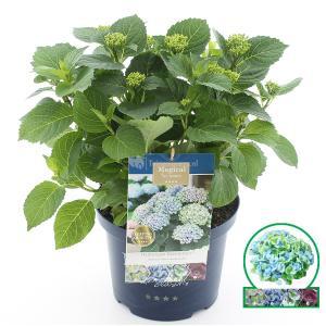 Hydrangea Macrophylla Magical Revolution Blue® boerenhortensia - 30-40 cm - 1 stuks