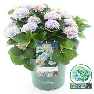 Hydrangea Macrophylla Magical Revolution Blue® boerenhortensia - 40-50 cm - 1 stuks