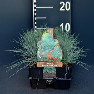 Zwenkgras (Festuca glauca Elijah Blue) bodembedekker - 6-pack - 1 stuks