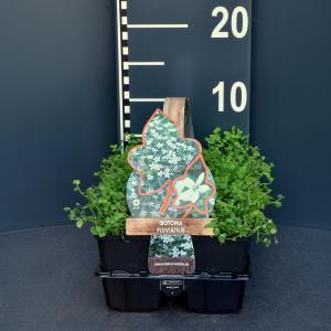 Laurentia (isotoma fluviatilis) bodembedekker - 6-pack - 1 stuks
