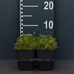 Koperknoopje (leptinella squalida) bodembedekker - 4-pack - 1 stuks