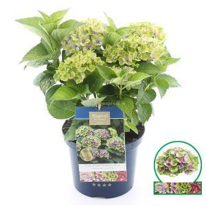Hydrangea Macrophylla Magical Amethyst Blauw® boerenhortensia - 30-40 cm - 1 stuks