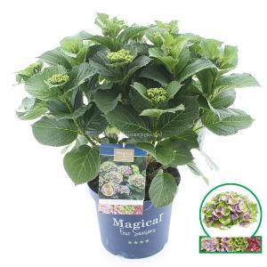 Hydrangea Macrophylla Magical Amethyst Blauw® boerenhortensia - 40-50 cm - 1 stuks