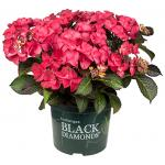 "Hydrangea Macrophylla ""Black Diamond® Dark Angel""® schermhortensia"