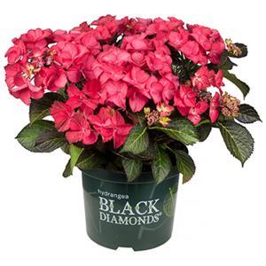 Hydrangea Macrophylla Black Diamond® Dark Angel® schermhortensia - 25-30 cm - 1 stuks
