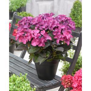Hydrangea Macrophylla Black Diamond® Dark Angel Purple® schermhortensia - 25-30 cm - 1 stuks