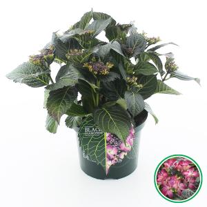 Hydrangea Macrophylla Black Diamond® Dark Angel Purple® schermhortensia - 30-40 cm - 1 stuks