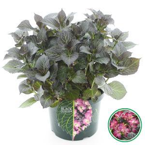 Hydrangea Macrophylla Black Diamond® Dark Angel Purple® schermhortensia - 40-50 cm - 1 stuks