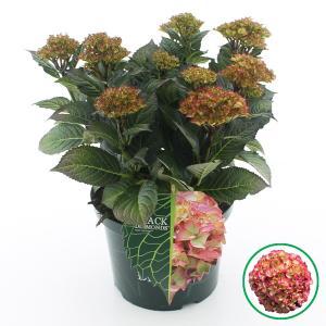 Hydrangea Macrophylla Black Diamond® Red Angel® boerenhortensia - 30-40 cm - 1 stuks