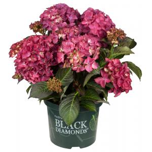 Hydrangea Macrophylla Black Diamond® Red Angel Purple® boerenhortensia - 25-30 cm - 1 stuks