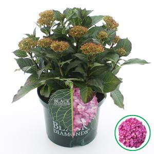 Hydrangea Macrophylla Black Diamond® Red Angel Purple® boerenhortensia - 30-40 cm - 1 stuks