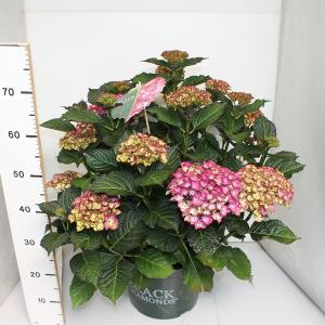 Hydrangea Macrophylla Black Diamond® Red Angel Purple® boerenhortensia - 40-50 cm - 1 stuks
