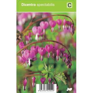 Gebroken hartje (dicentra spectabilis) voorjaarsbloeier - 12 stuks