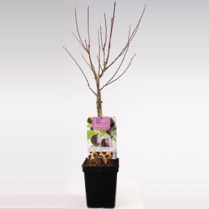 Pruimenboom (prunus domestica Hauszwetsche) fruitbomen - In 5 liter pot - 1 stuks