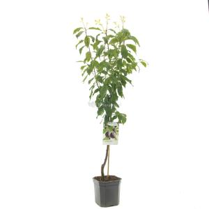 Pruimenboom (prunus domestica Hauszwetsche) fruitbomen - In 7 liter pot - 1 stuks