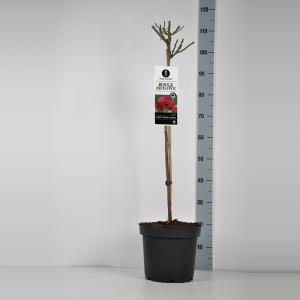 Trosroos op stam (rosa Red Meilove®) - Op stam 70 cm - 1 stuks