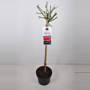 Trosroos op stam (rosa Red Meilove®) - Op stam 90 cm - 1 stuks