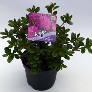 Rododendron (Rhododendron Japonica Purpurtraum) heester - 15-20 cm - 8 stuks